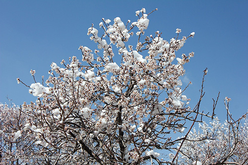 شکوفههای یخی