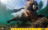 لاکپشت دریایی اینطوری غذا میخورد!+تصاویر