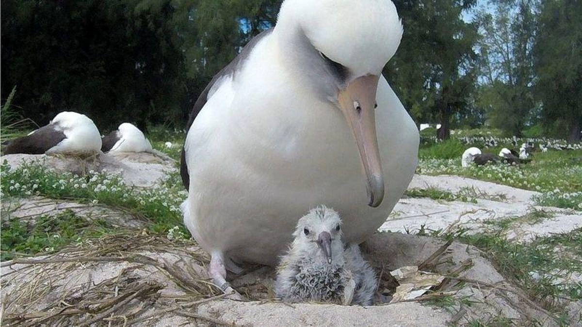 تصاویر زیبا و دیده نشده از پیرترین پرنده وحشی جهان که صاحب جوجه جدید شده است