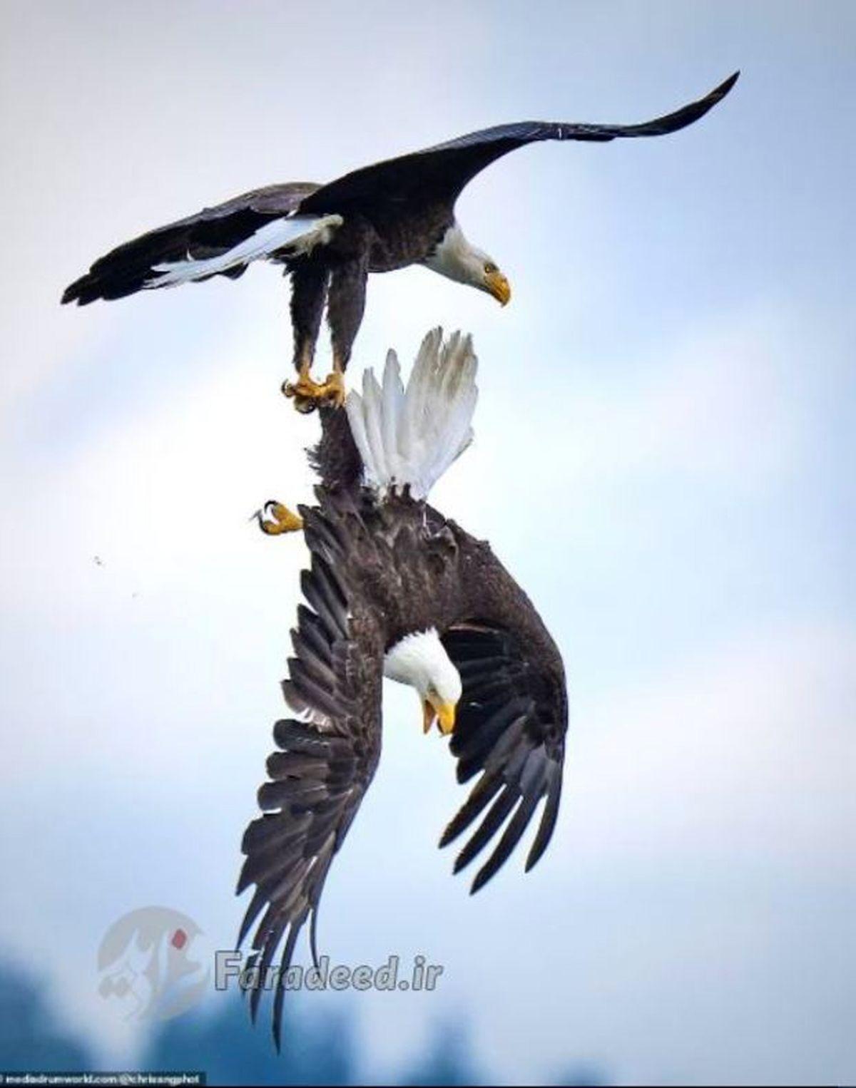 دعوای شدید دو عقاب در آسمان + عکس