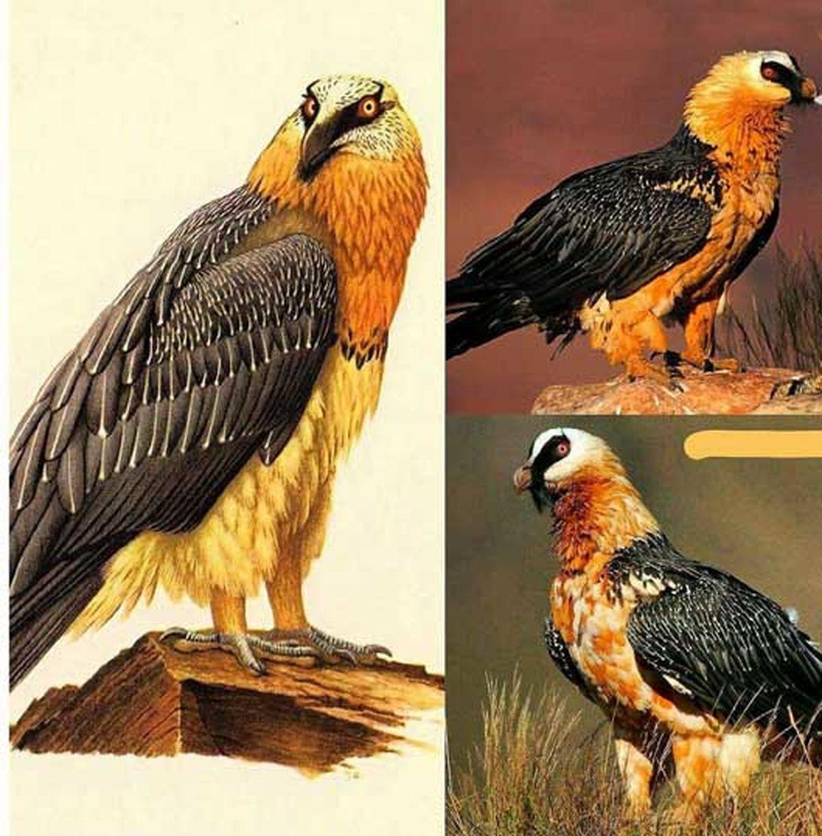 تصویری از هما پرنده اساطیری ایران