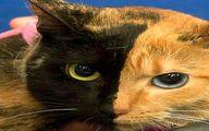 تصویر نزدیک از عجیب ترین گربه دنیا