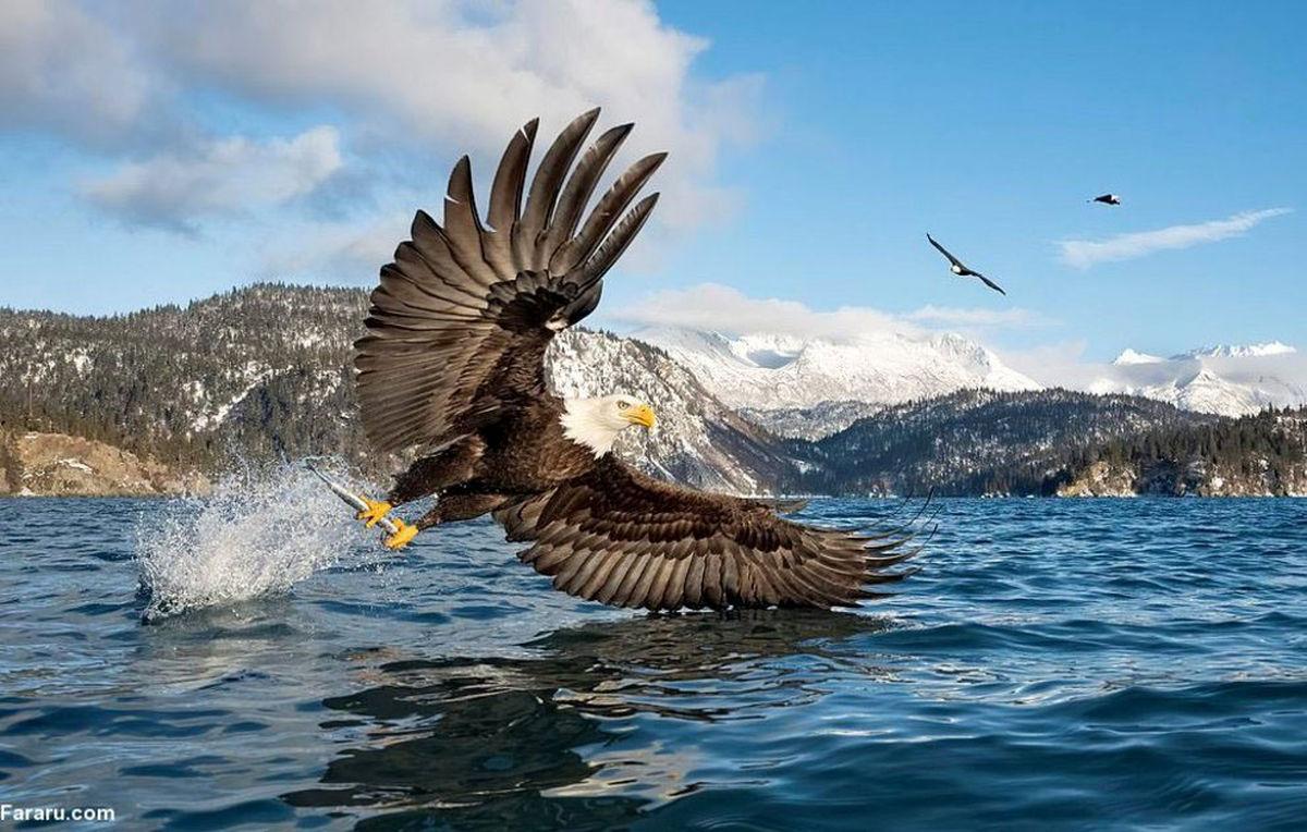 عکسی خیره کننده از عقاب در حال شکار ماهی