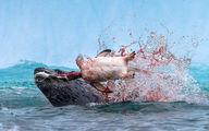 عکس خونین از پنگوئن بی سر