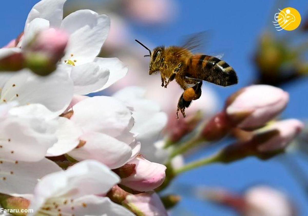 تصاویر دل انگیز از شکوفههای رنگارنگ بهار در سراسر جهان
