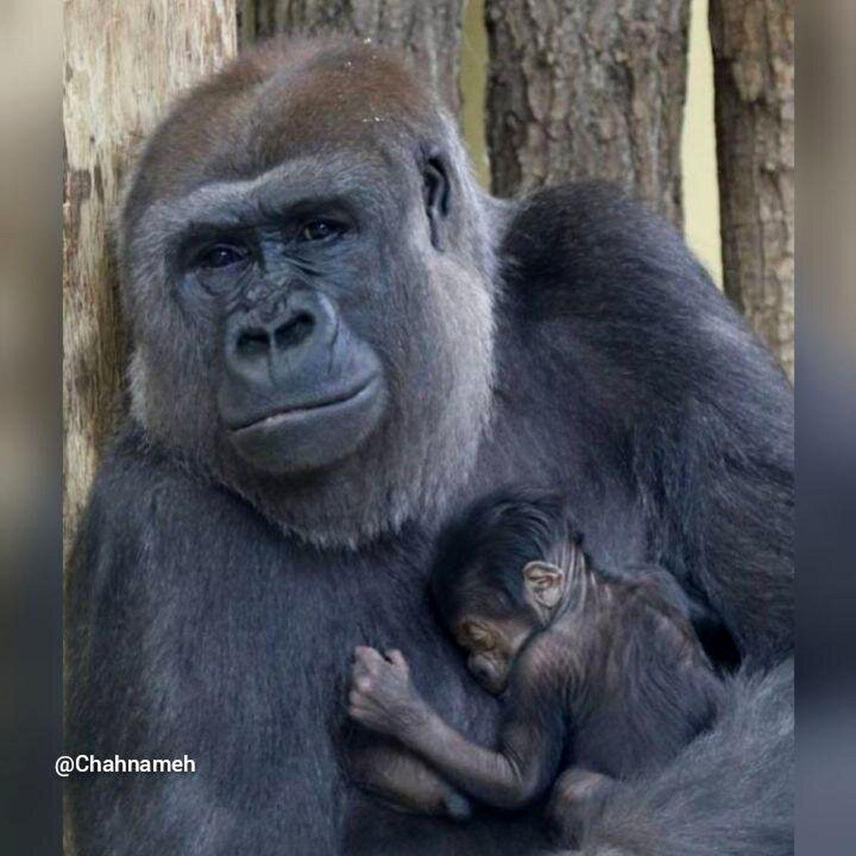 اولین بچه گوریل در باغوحش برلین بعد از ۱۶ سال متولد شد+عکس
