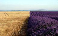 تصویر فوق العاده زیبا از مزارع گندم در کنار مزارع اسطوخودوس