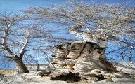 عکس باورنکردنی از درختی که مردم به آن قسم میخورند