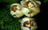کمیاب ترین گل جهان به نام نوزاد در گهواره