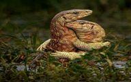 تصویر عاشقانه و باورنکردنی از دو مارمولک