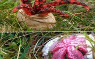 قارچی شگفت انگیز به نام انگشت شیطان!