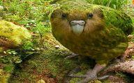 تنها طوطی در حال انقراض جهان که نمی تواند پرواز کند