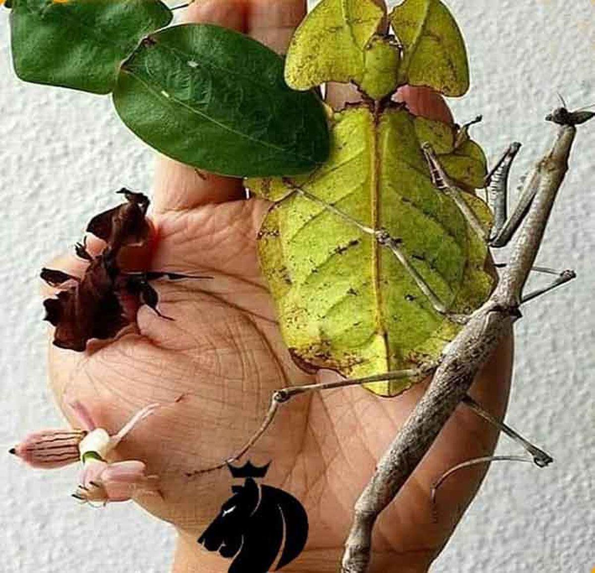 باورنکردنی؛حشره هایی که شبیه شاخه و برگ هستند