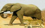 یکی از زیباترین عکس های راز بقا؛نجات توله شیر توسط فیل