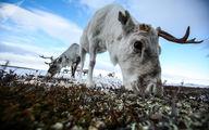 عکسی با زاویه دیده نشده و متقاوت از گوزن در مورمانسک روسیه