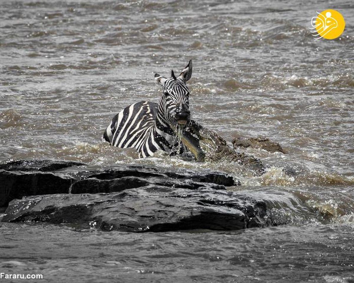 تصاویر جالب از فرار گورخر خوش شانس از آروارههای تمساح
