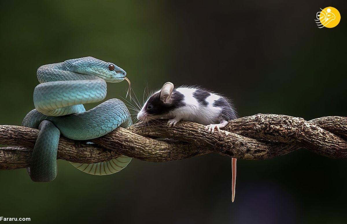تصاویر زیبای بوسه مرگ؛ افعی آبی یک موش را بلعید