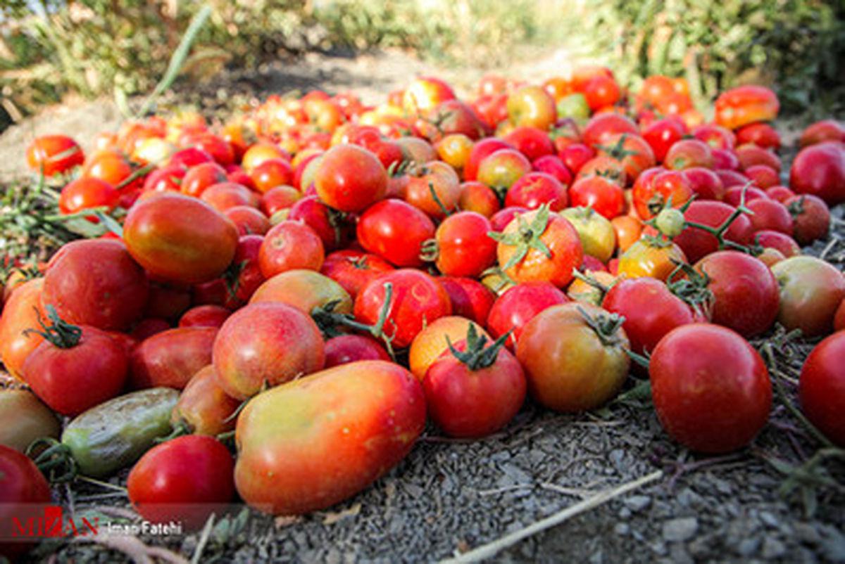گزارش تصویری برداشت گوجه فرنگی در استان سنندج