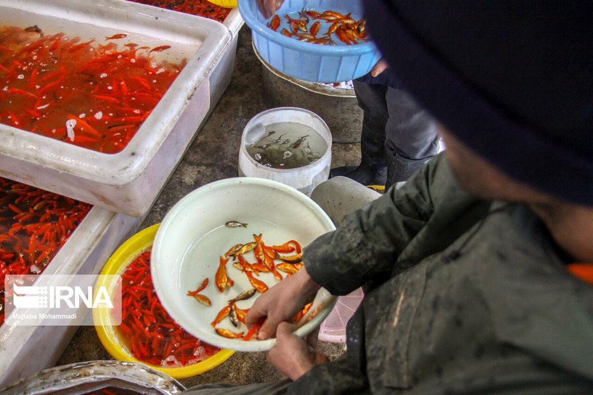 تصاویر زیبا از پرورش ماهی قرمز در گیلان