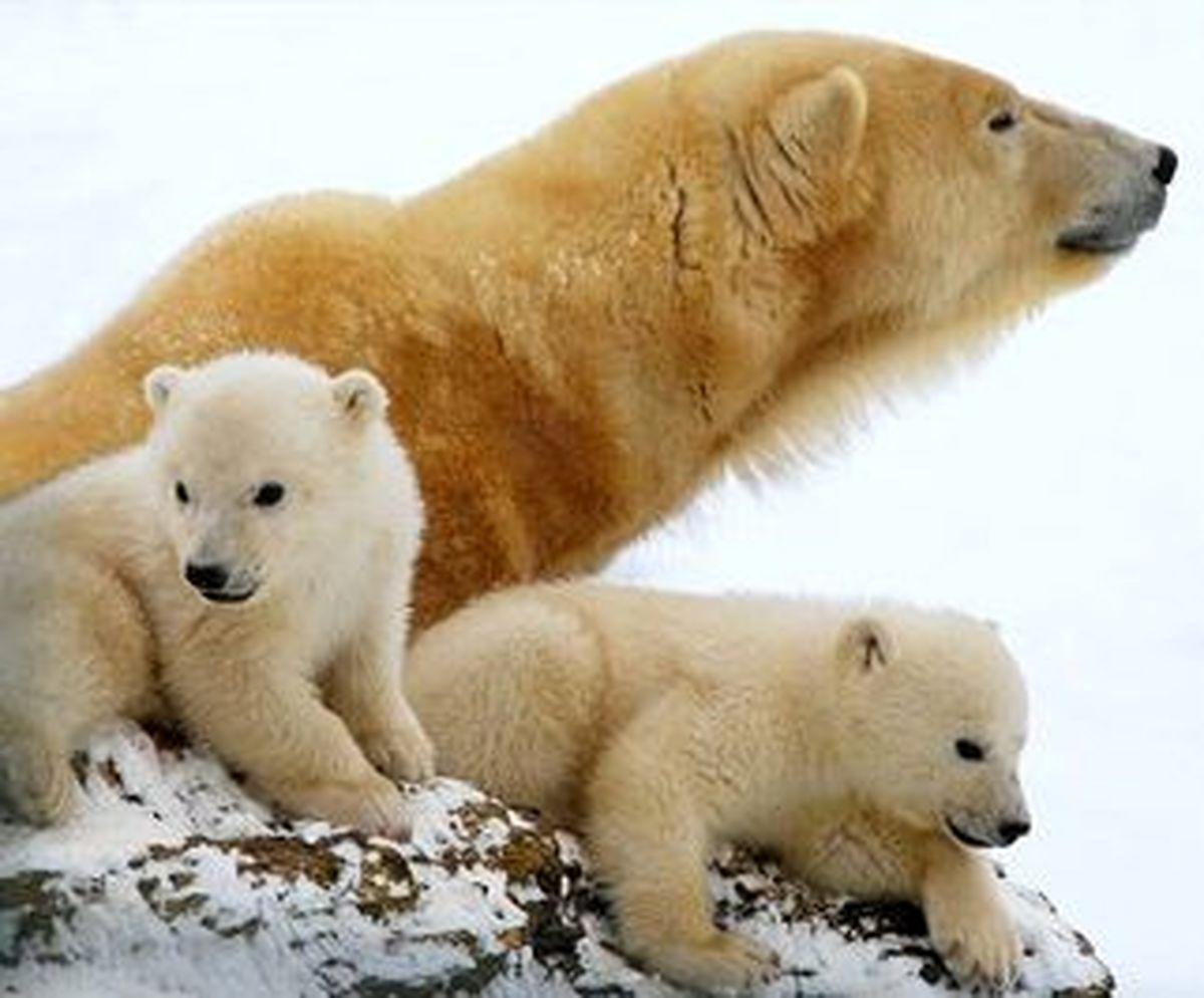 تصاویر خیره کننده از خرسهای قطبی در باغ وحش سن دیگو