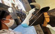 ماسکی که الناز شاکردوست بر دهان گاو زد! + عکس