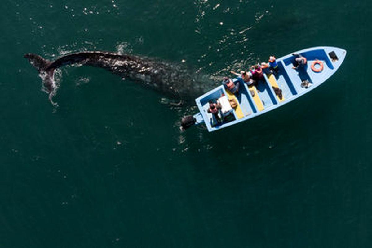 نوازش نهنگ خاکستری در مکزیک+عکسها