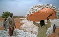 برداشت پنبه در روستایی در بورکینافاسو/عکس