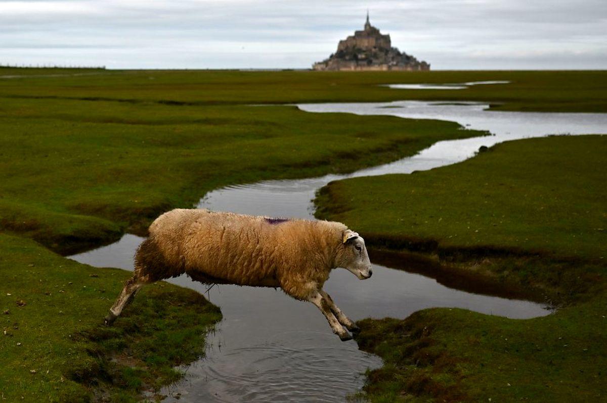 عکسی جذاب از پرش گوسفند در فرانسه