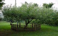 درخت سیب نیوتن/عکس