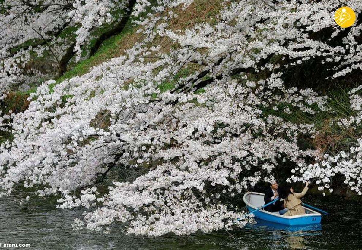 تصاویر زیبا از رویش زودهنگام شکوفههای گیلاس در ژاپن