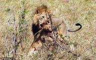 شیر نر تولهشیر را کشت و خورد! /تصاویر