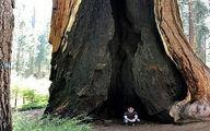 تصویر درخت غول پیکر پس از برخورد صاعقه