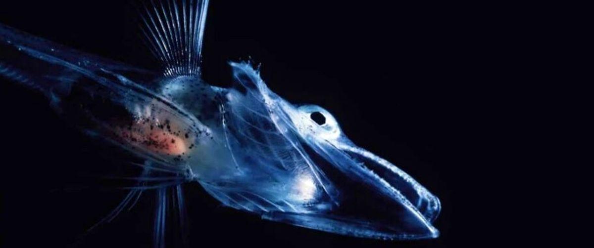 چرا خون برخی ماهیها بیرنگ است؟
