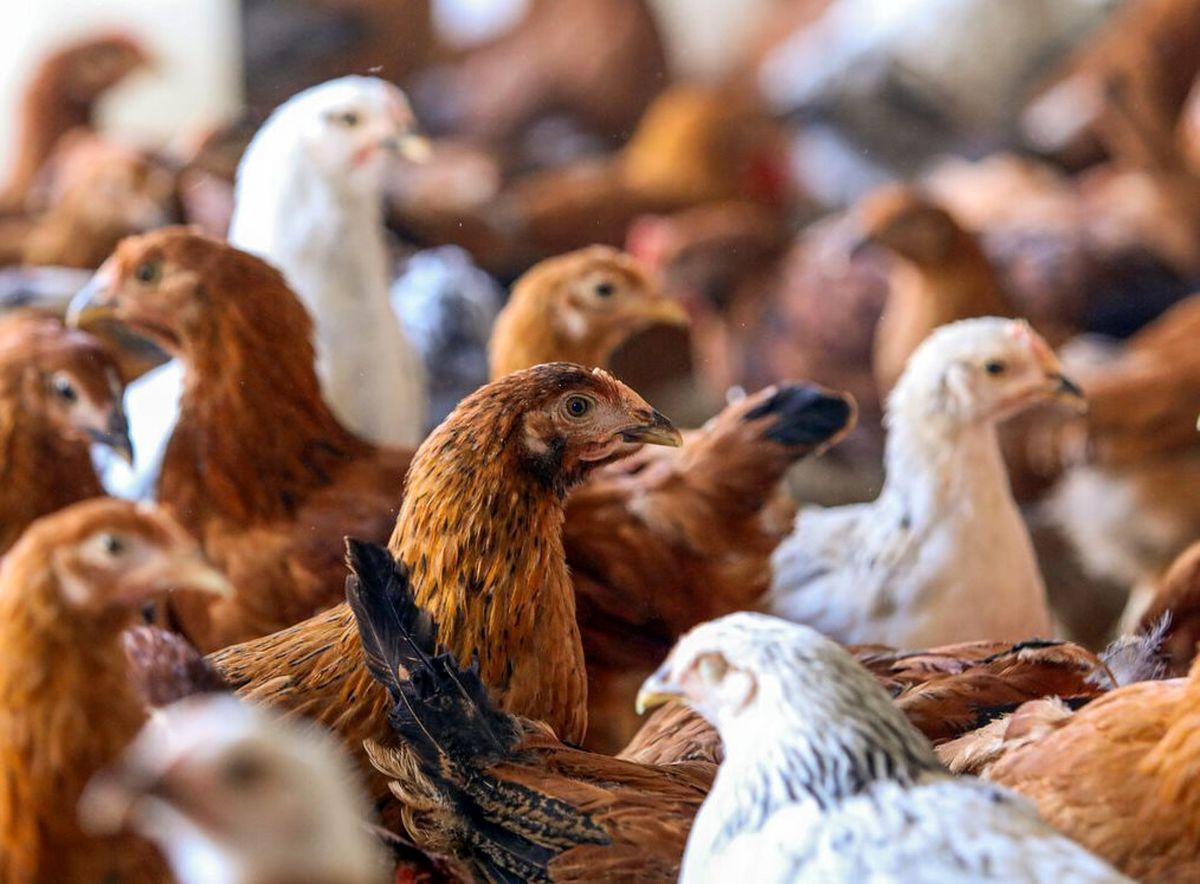 ماجرای استفاده از تریاک در پرورش مرغها صحت دارد؟