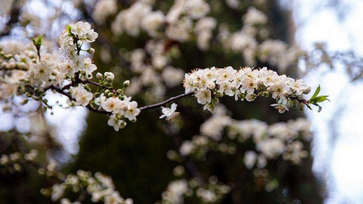 تصاویر زیبا از شکوفههای بهاری در تهران