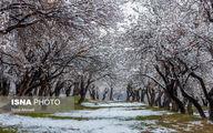 لباس سفید بر تن شکوفههای بادام+عکسها