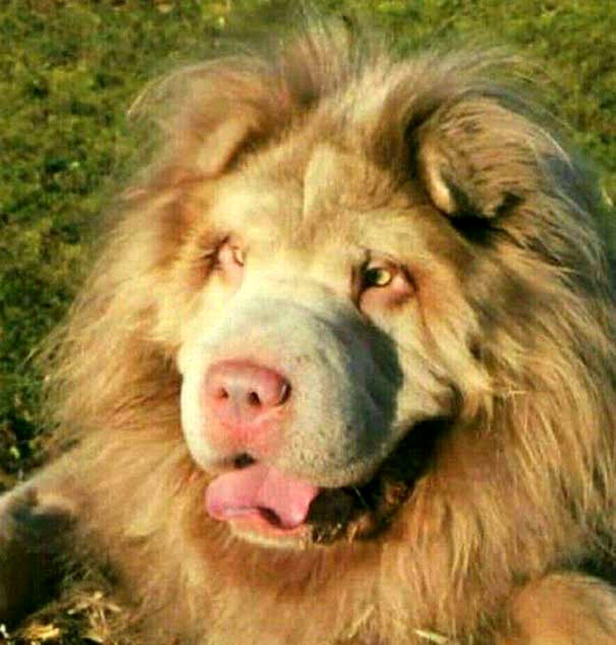 تصویر سگی عجیب به شکل شیر سلطان جنگل