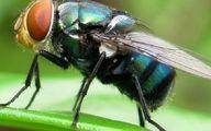 خبر عجیب؛ مگس ها ناقل کرونا هستند!