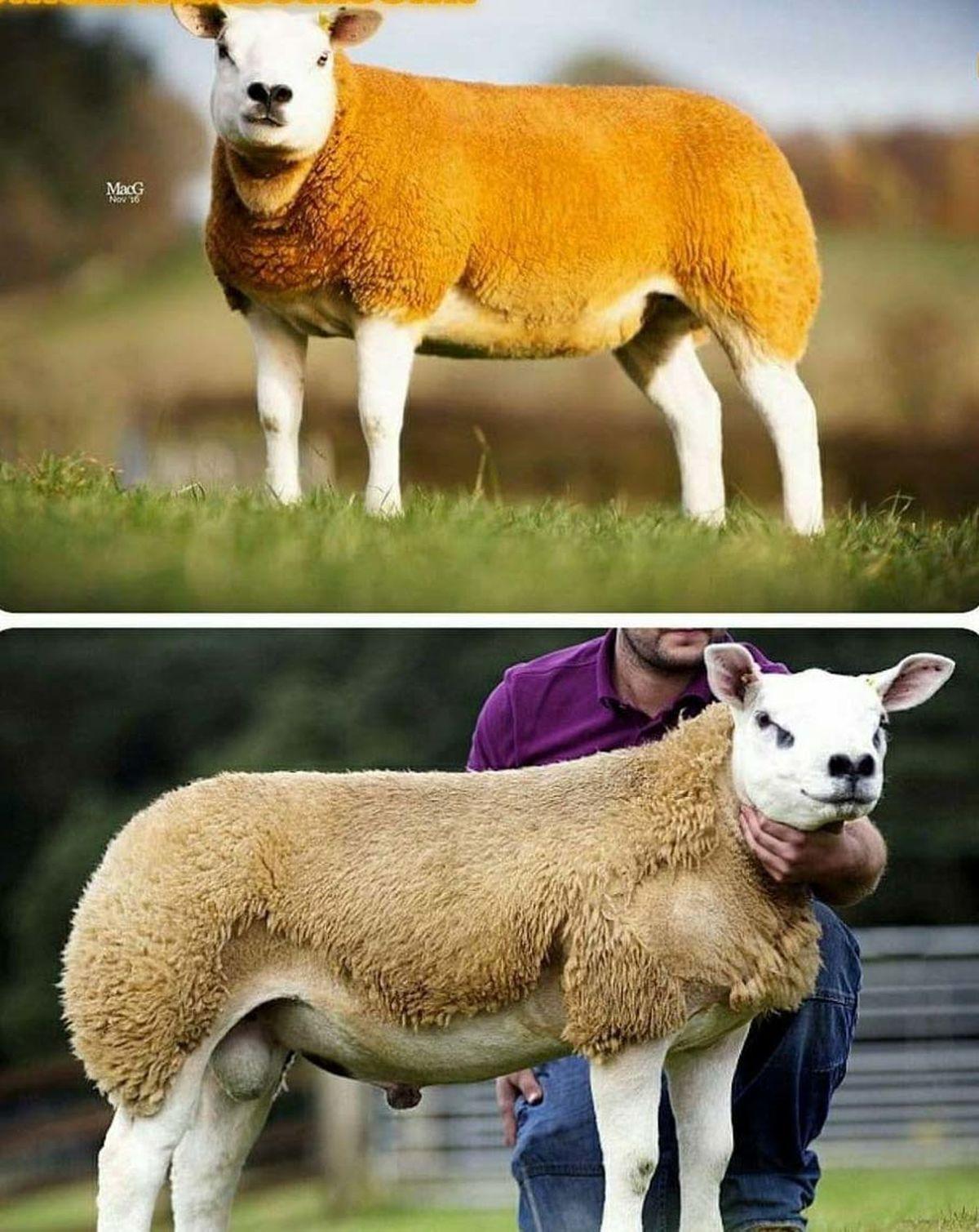 گرانترین گوسفند جهان به قیمت 2 برابر پورشه