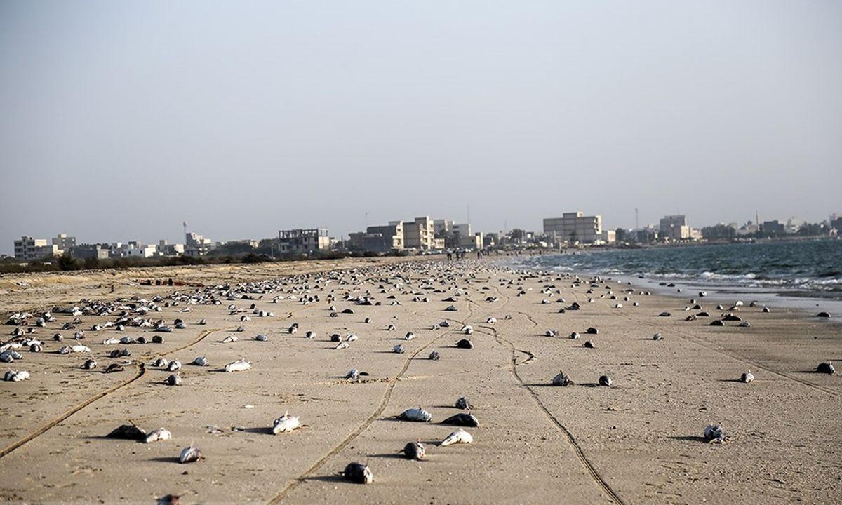 فاجعه مرگ گربه ماهیها در ساحل جاسک+عکسها