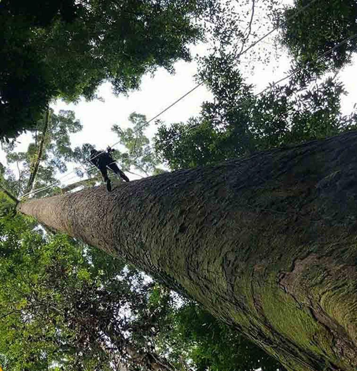 بلندترین درخت دنیا کشف شد! ارتفاع یکصد متر