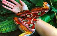 تصویر پهنپیکرترین پروانهزیبای جهان