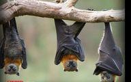 ادعای عجیب محققان چینی: کرونا ارتباطی با خفاش ندارد!