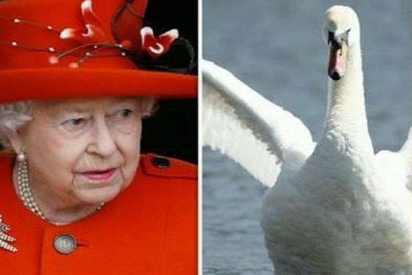 همه این پرنده های زیبا در انگلیس دارایی های ملکه هستند