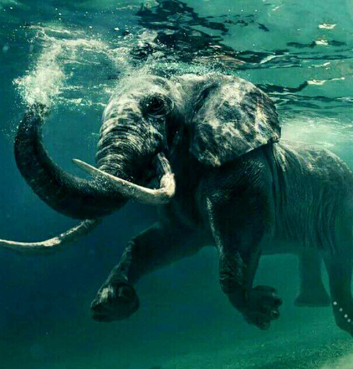 تصویری از زیرآبی رفتن فیل