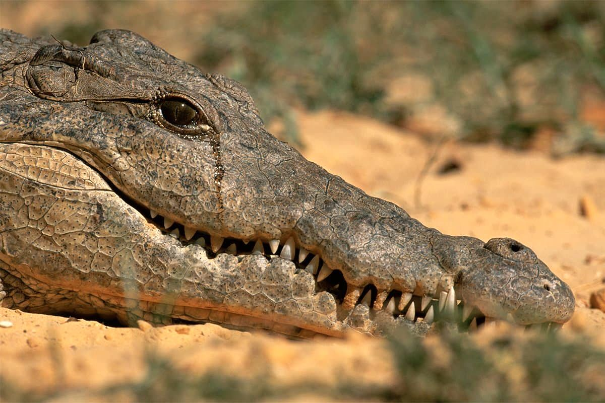 عکسی نادر و جالب از اشک تمساح!