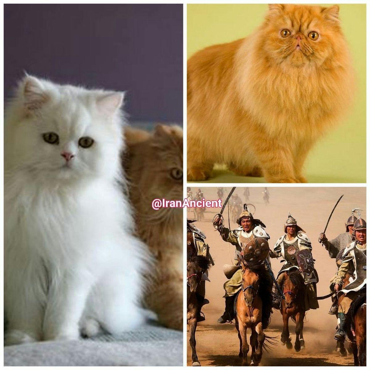 عکسی از پرشین کت که از کهنترین و مشهورترین نژادهای گربه ایرانی است