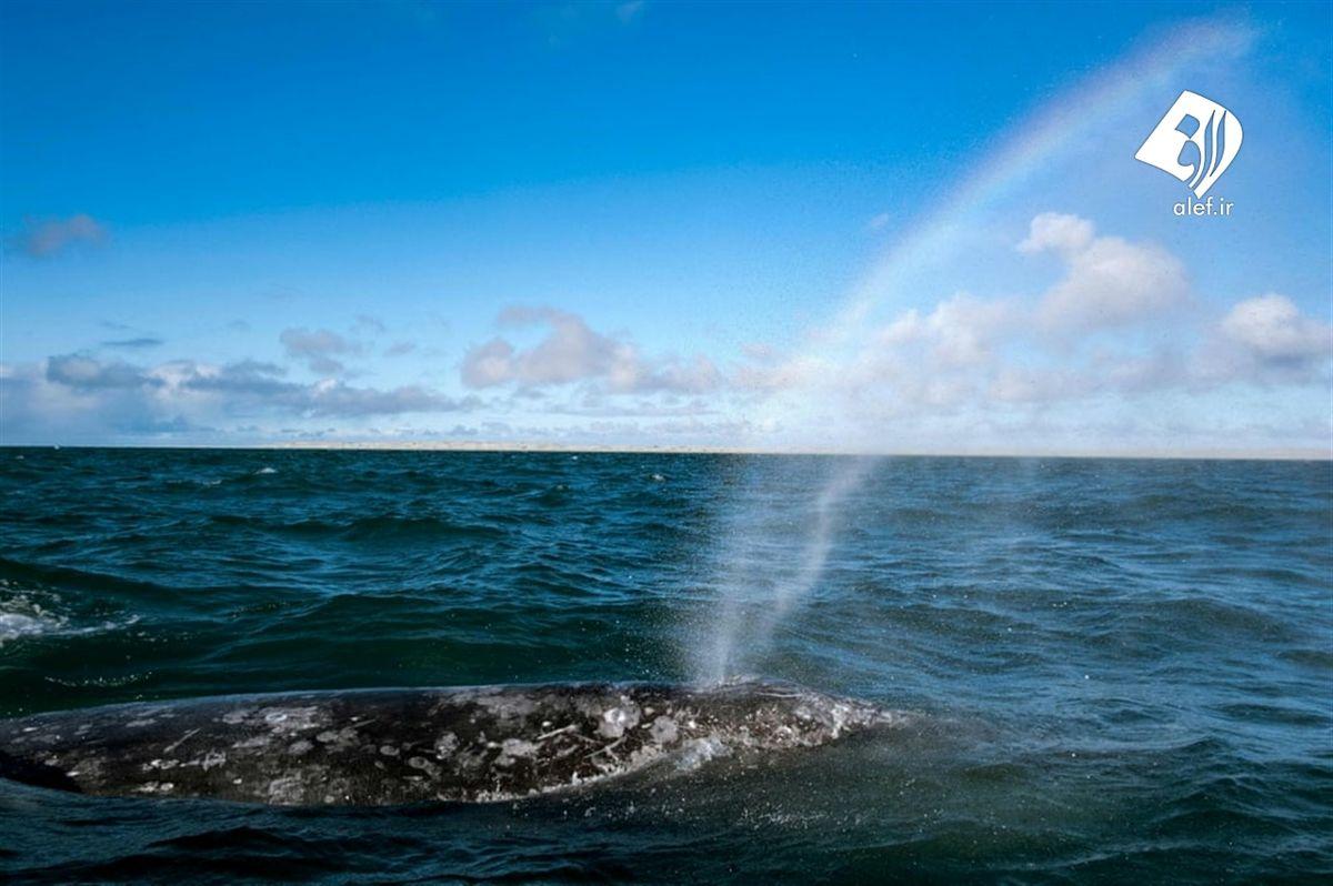تماشای نهنگهای مهاجر در مکزیک+عکسها