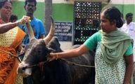 این زن بیوه با گاو نر به حجله رفت + عکس