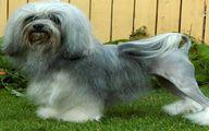 """لوچن"" گرانترین نژاد سگ درجهان + قیمت"